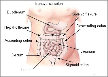 Fish oil benefits: Perhaps preventing colon cancer. Picture of abdominal anatomy.