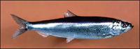 Photo of herring.
