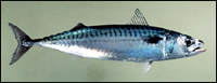 Photo of mackerel.